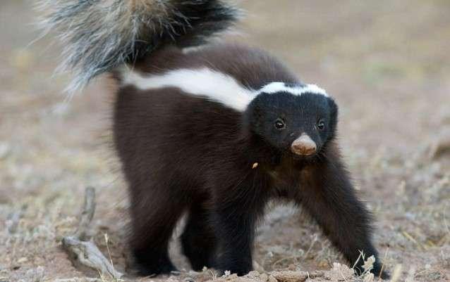 Большие и маленькие вонючки животного царства