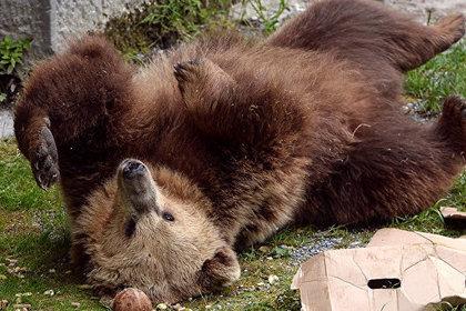 В немецком зоопарке застрелили покинувшего клетку медведя