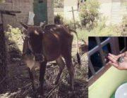 Корова в Индонезии родила теленка и черепаху