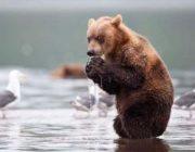 Забавные медведи, которых застукали за человеческими занятиями